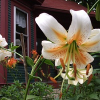 Consider the Lilies: Lily Aftercare