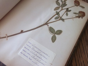 Page from antique herbarium.