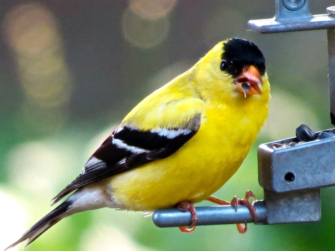 This morning's goldfinch