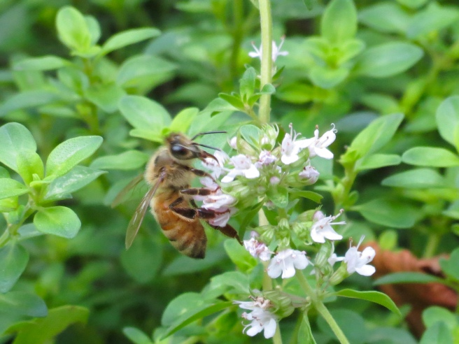 A honey bee, investigating the thyme flowers this morning.