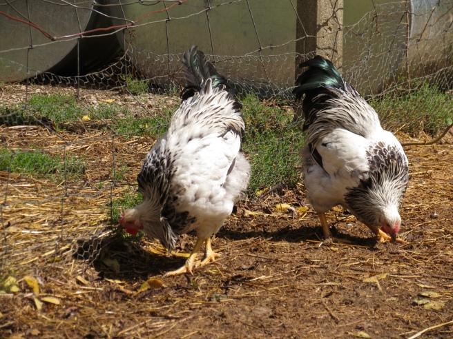 Columbian Wyandotte hens